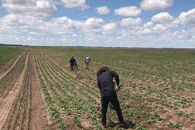 Empresas chinas explotan campo poblano por falta de productores