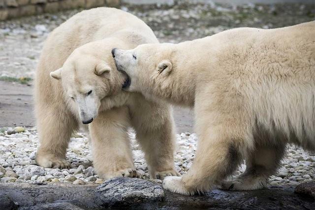 Aumentan casos de canibalismo en osos polares debido a altas temperaturas