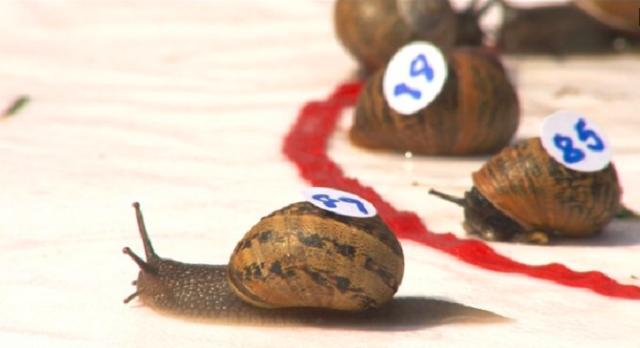 Caracoles protagonizan la carrera más lenta del mundo
