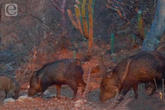 Captan a grupo de pecaríes en la Reserva de la Biosfera