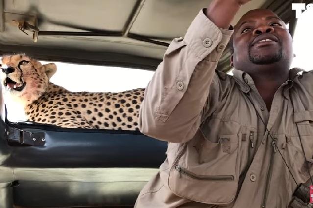 Turistas se arriesgan y se toman fotos con cheetah a centímetros