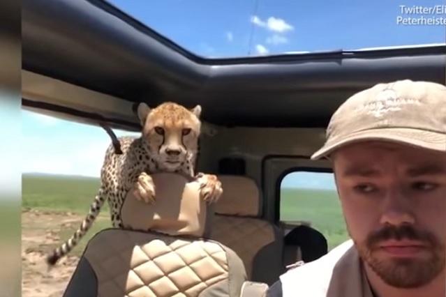 Turista vive aterrador momento cuando cheetah se mete en su auto