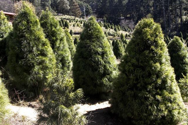Ocupa Puebla tercer lugar en venta de árboles de Navidad