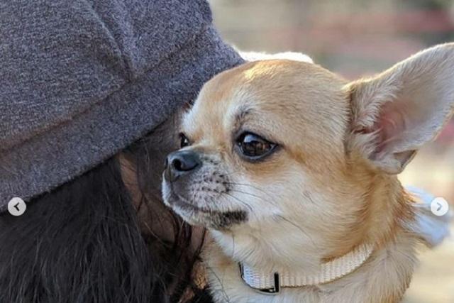 Perros Chihuahua, reactivos y hasta agresivos