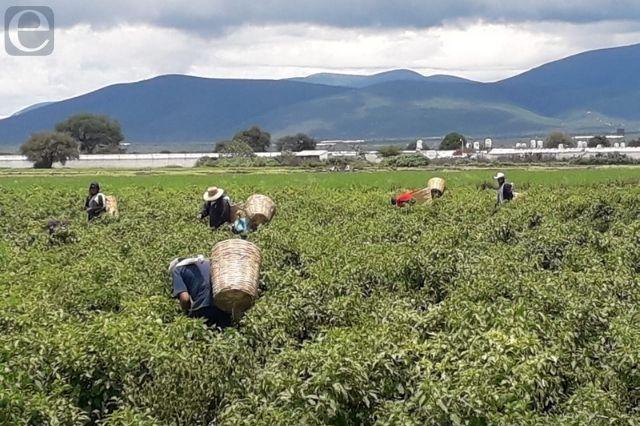 Lluvia afecta 10% de hectáreas de siembra de chile miahuateco