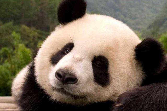 China: oso panda ya no está en peligro de extinción