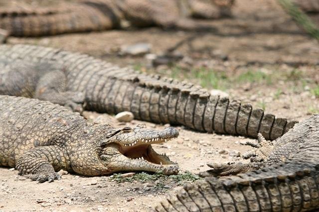 5 datos de los cocodrilos que deberías saber