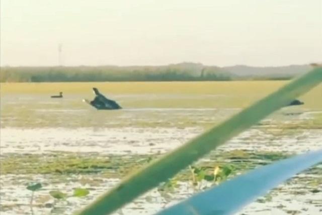 Video: Cocodrilo de 4 metros sorprende y devora a un pato
