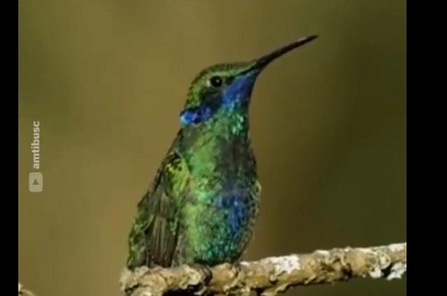 Los colibríes están en peligro de extinción por esta razón