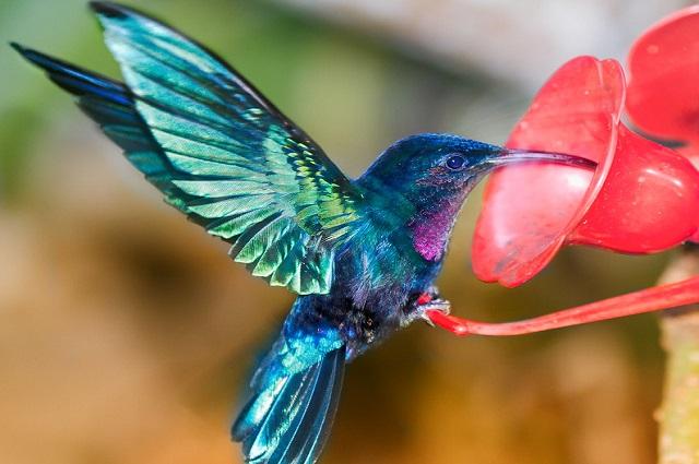 Siete datos interesantes sobre los colibríes