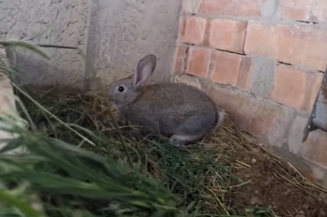 Conejos se suman a la lista de animales en peligro
