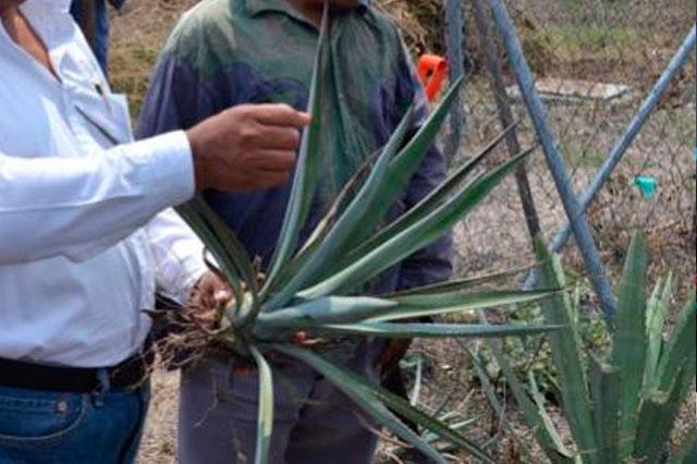 Coxcatlán, cuna del maíz, apuesta al agave para dejar la marginación