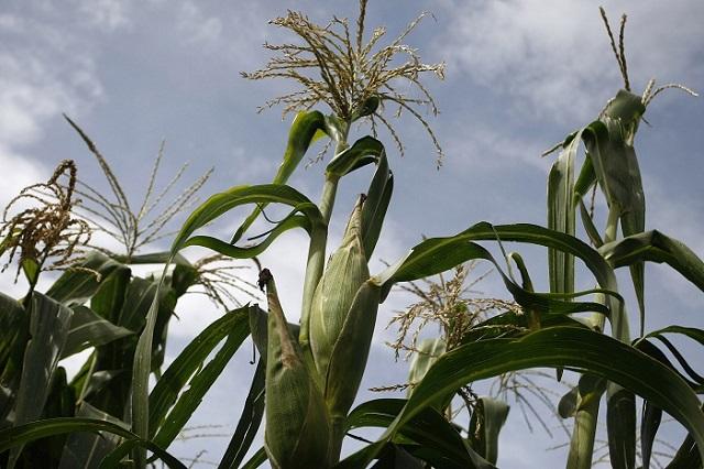 Heladas afectan 50 hectáreas de cultivos en San Andrés Cholula