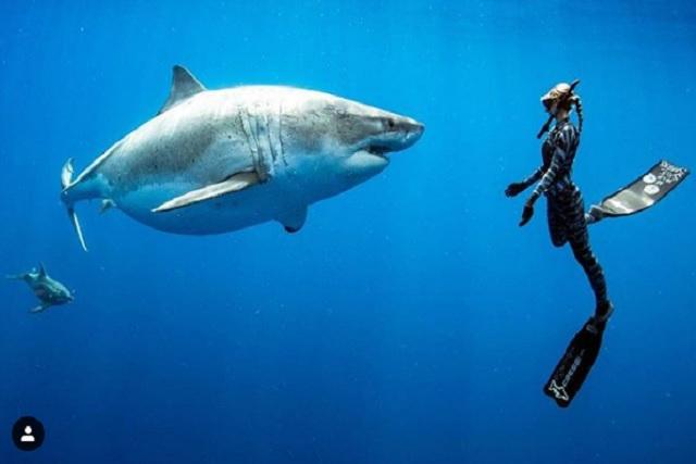 Buzos nadan junto al mítico tiburón blanco más grande del mundo