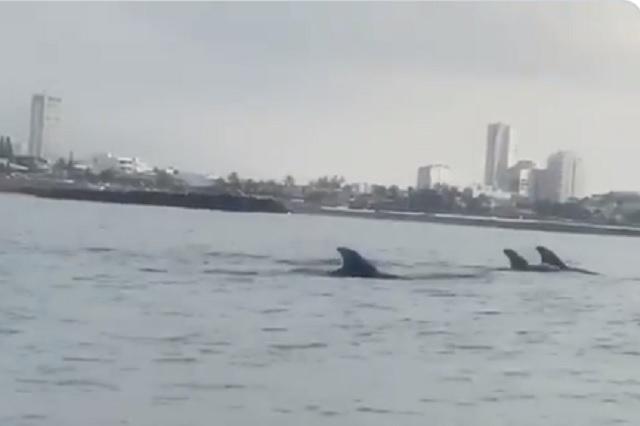 Captan presencia de delfines en costas de Veracruz