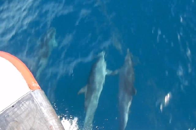 Delfines se viralizan por nadar tomados de las aletas