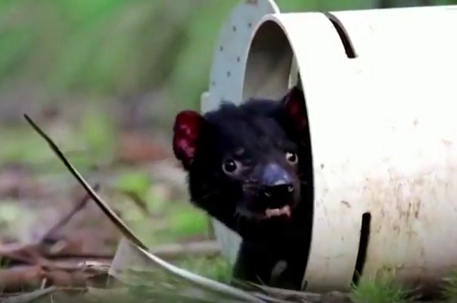 Luego de 3 mil años, nacen primeros demonios de Tasmania en Australia