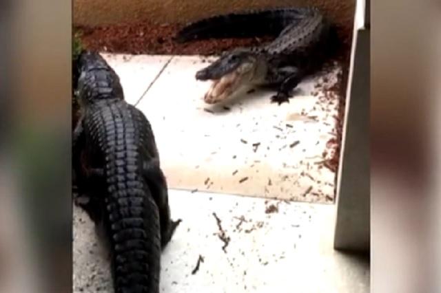 Escuchó ruidos afuera de casa; cocodrilos gigantes peleaban en su puerta
