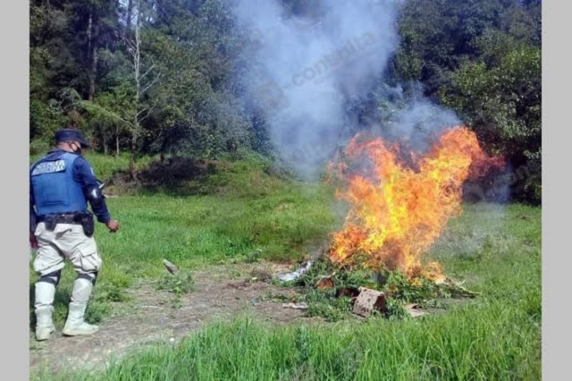 Destruyen plantío de mariguana en Tlatlauquitepec