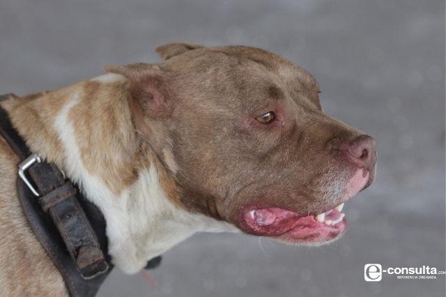 En Atlixco perro pitbull ataca a mujer y a su hijo