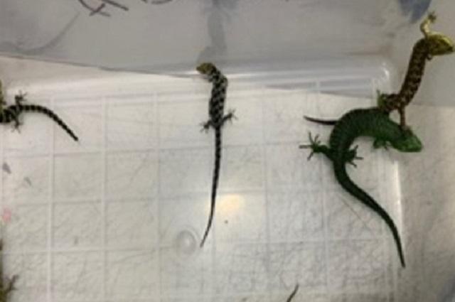 Decomisan 6 dragoncitos escondidos en un peluche