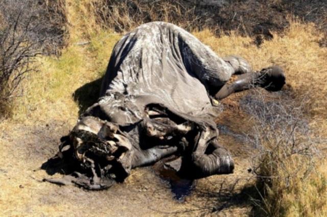 Cazadores furtivos asesinan a casi 100 elefantes en Botswana