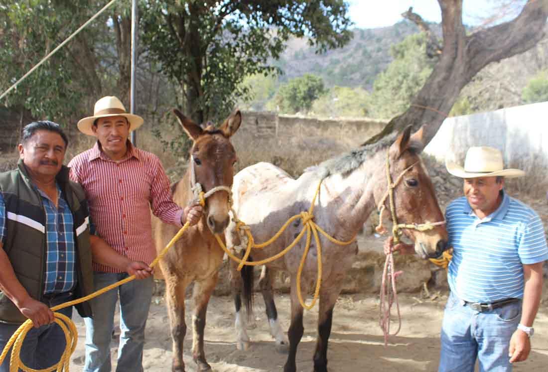 Entrega Sagarpa mulas a productores de maíz para trasporte de carga