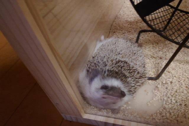 Zoológico pone un cepillo un lugar de un erizo y explican la razón