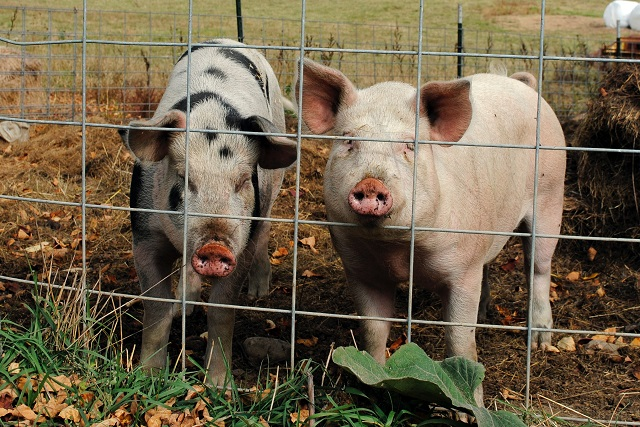 Reaparece la peste porcina africana y no hay vacuna