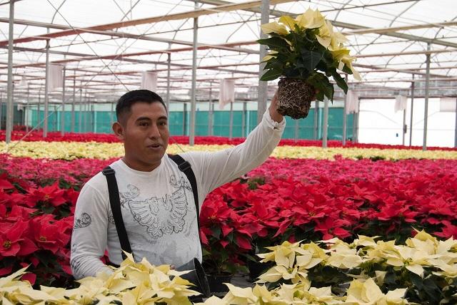 Pequeños productores aseguran abasto de flor de nochebuena