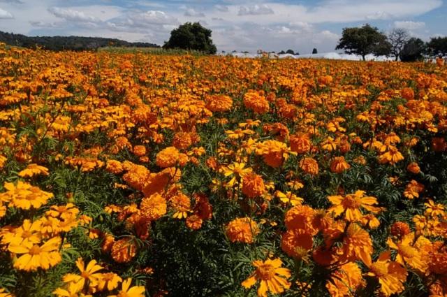 Puebla produce 76% de la flor de cempasúchil en el país