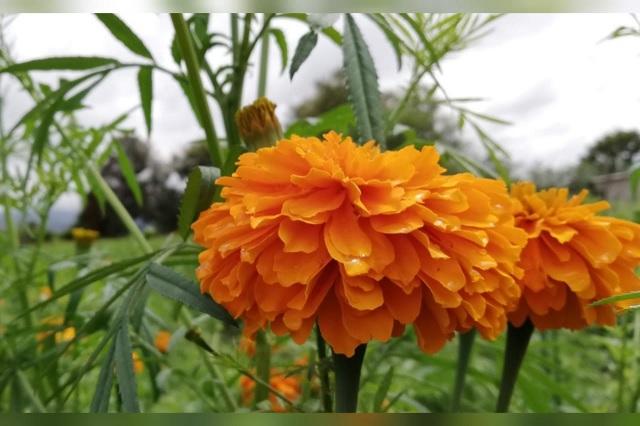 Campesinos de Tehuacán prevén bajas ventas de flor de cempasúchil