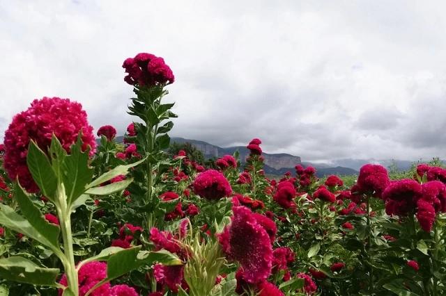 En Tehuacán baja producción de flor de muerto por Covid