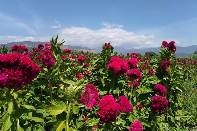 Productores de flor piden abrir panteones para Todos Santos