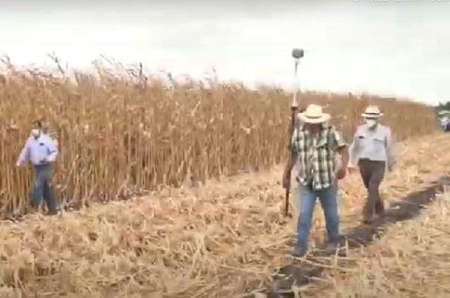 Producen 600 hectáreas de maíz grano sin glifosato en Sinaloa