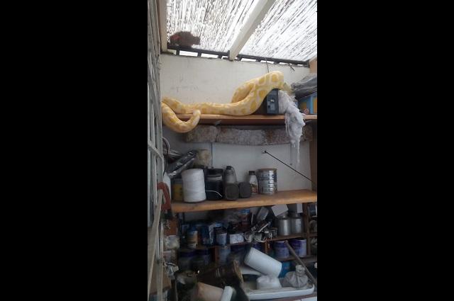 Capturan serpiente pitón en casa de la Insurgentes Oriente