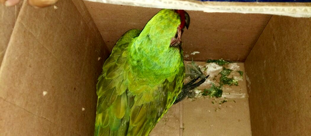 Los detienen porque transportaban aves protegidas