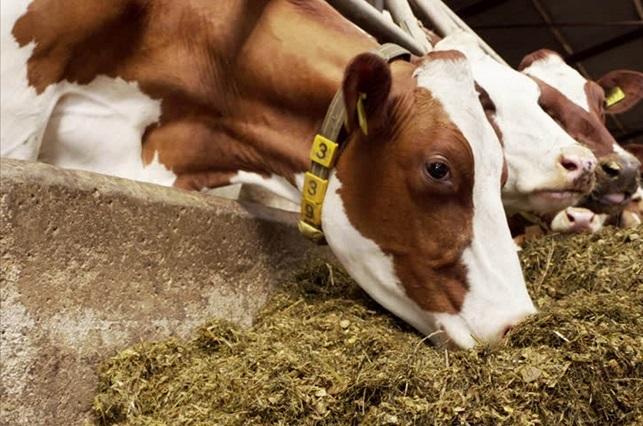 Suplementos de aceite de oliva para ganado mejora calidad de lácteos