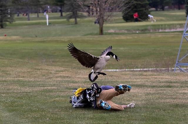 El sorprendente ataque de un ganso a un golfista que ya es un meme