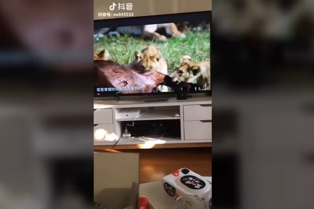 Esta es la cara de un gato al ver leones devorando a su presa