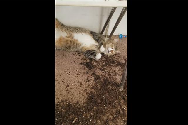 Estos gatitos comieron marihuana y mira lo que les pasó
