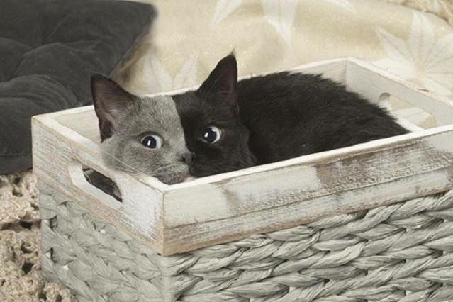 Fotos y videos de dos caras, el gato que aman en las redes sociales