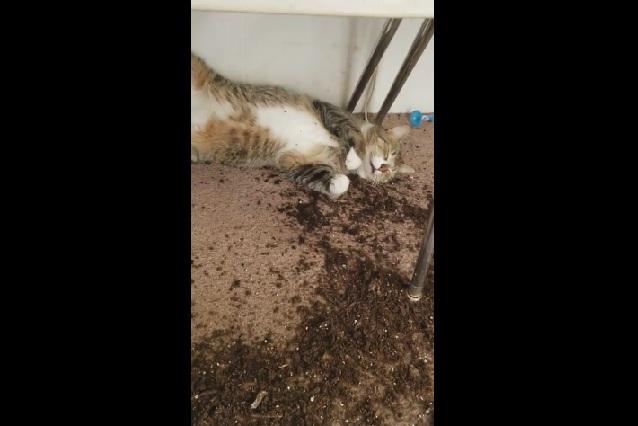 VIDEO: 2 gatos probaron marihuana y video muestra cómo quedaron