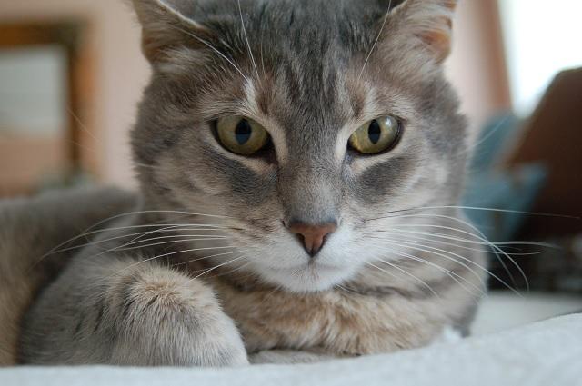 El gato no es la principal fuente de contagio de toxoplasmosis