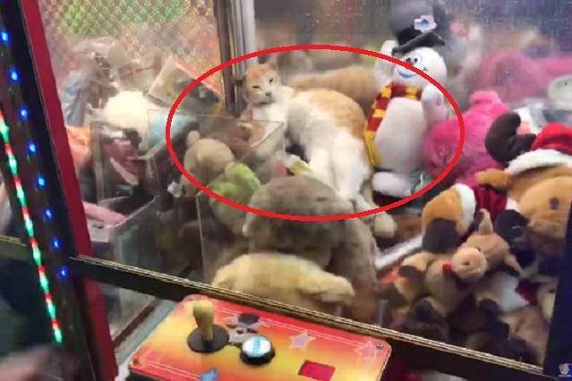 Gato se mete en máquina de peluches e intentan sacarlo con la garra