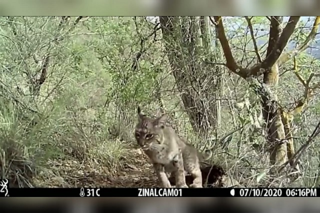Brigada de vigilancia capta en video a gato montés en Zinacatepec