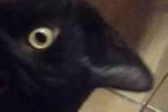 Ilusión óptica: ¿Es un gato o un cuervo el animal de la foto?