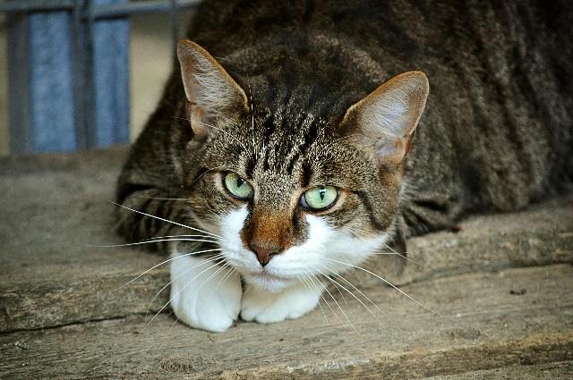 No sólo los gatos transmiten toxoplasmosis