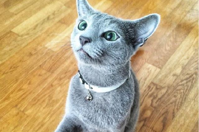 Top 4 de gatos muy caros en el mundo