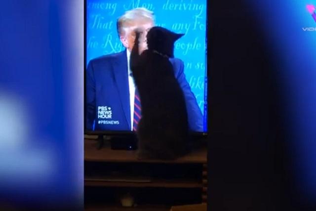 Video de gato que intenta arañar a Donald Trump en tv es viral